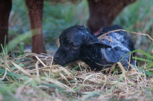 Geburt beim Ouessantschaf