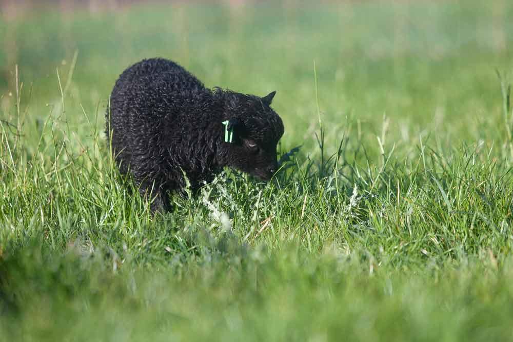 Schwarzes Ouessantlamm mit grüner TwinTag Ohrmarke. Diese dient zur Kennzeichnung