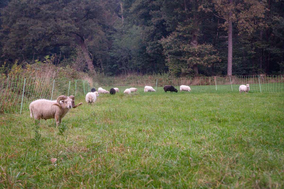 Ouessantschafe auf der Weide