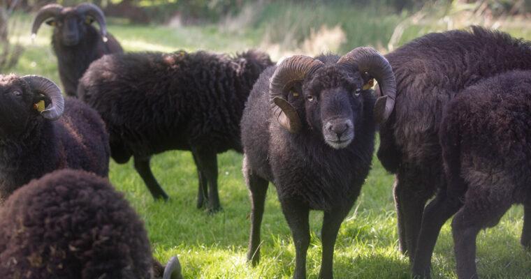 Deckzeit bei Schafen